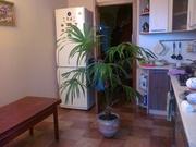 Продам пальму в офис или дом