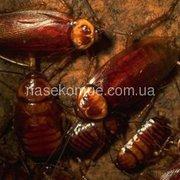 Американский таракан(корм для животных)