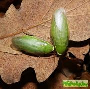 Зеленый таракан