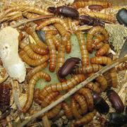 Мучной червь (насекомое)корм для животных