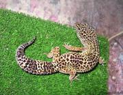 Леопардовый геккон