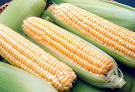 Кукуруза сахарная в початках,  оптом