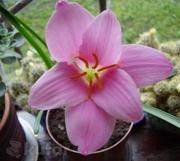 Луковицы цветка Зефирантес розовый или выскочка,  недорого