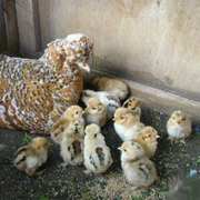 Цыплята,  перепелята,  перепела,  инкубационное яйцо