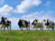 Покупаем коров и быков живым весом в любых количествах на убой..