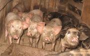 поросята мясной породы