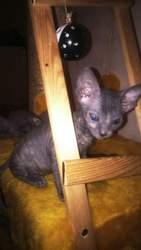котята  Донские Сфинксы