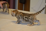 Бенгальские котята в Гомеле по низким цена из питомника