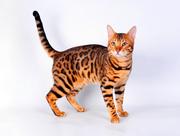 Бенгальские котята в Гомеле