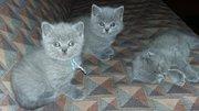 Шотландские котята прямоухие