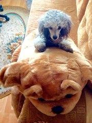 Прекрасные щенки карликового пуделя ждут своих новых хозяев