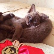 Чистокровные бурманские котята (бурма)
