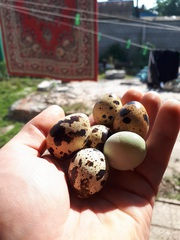 Домашние перепелиные яйца в Гомеле
